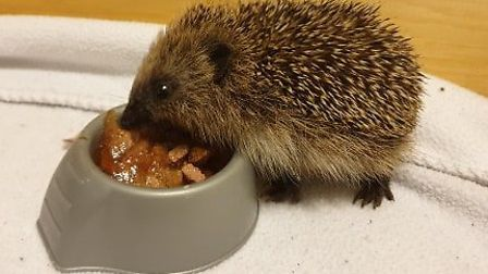 Hedgehogs which have been rescued in Norfolk. Photo: Tracy Jenkins