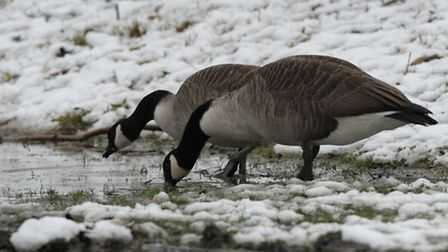 Candian Geese in Barking park.