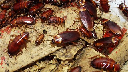 Barking and Dagenham has one of the highest levels of cockroach infestation in England
