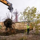 One of the trees being removed from Queen Elizabeth Olympic Park. Picture: Rahil Ahmad