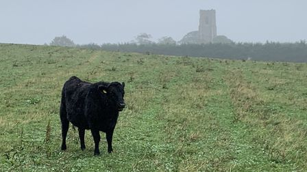 Wagyu and wagyu cross cattle are kept on fields around Worstead Estate. Picture: Stuart Anderson