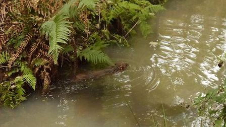 A beaver swims off to exlore its new home Picture: Wild Ken Hill