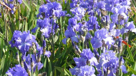Barry Emmerson's irises have raised more than �2,000 for Suffolk hospital charities. Picture: BARRY