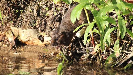 Water voles are one of the species of concern Picture: DAVID MAYHEW/ CITIZENSIDE.COM