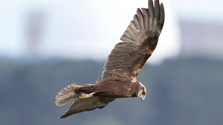 There are concerns for the future of marsh harriers as well Picture: PAUL CHAPMAN/ CITIZENSIDE.COM