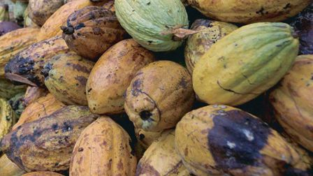Cocoa fruit before the seed is processed Picture: PA