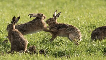 Hare coursing is illegal Picture: FRANCES CRICKMORE