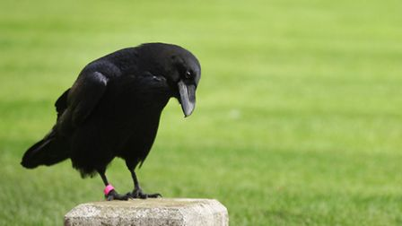A raven called Merlin in the Tower of London gardens.