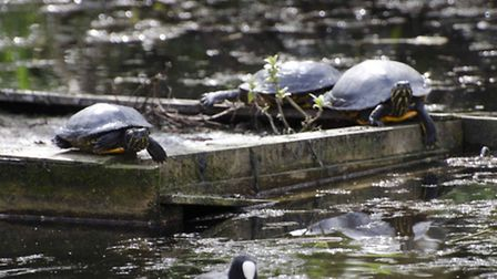 Terrapins spotted abandoned on our waterways after outgrowing tanks in the home [photo: Jack Perks]