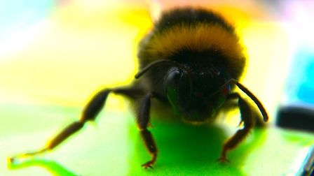 The bee that came to tea... Queen Mary study trains bumblebees with sugar water rewards. Picture: Cl