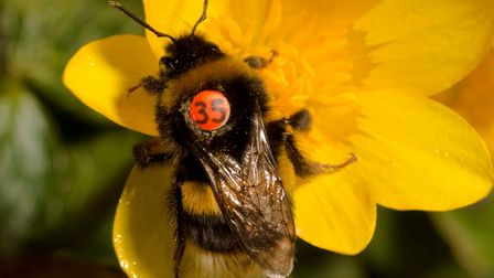 Previous Queen Mary University study in 2016 when bumblebees were 'tagged' to find out where they bu