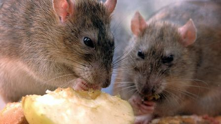 Rats nibble on discarded food. Picture: Kirsty Wigglesworth/PA Images