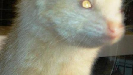 Three ferrets were found abandoned in Peterborough.