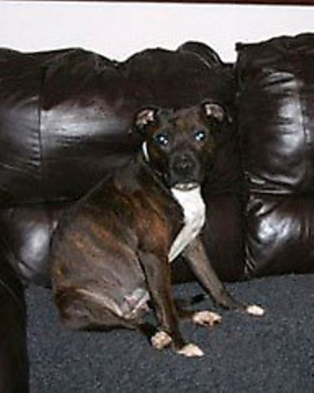 Staffordshire Bull Terrier Rescue. Angel,