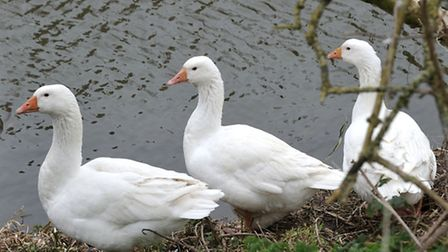 Geese at Nene parade March.