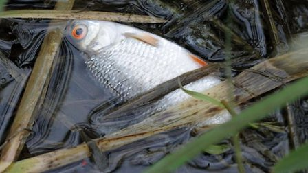 Dead fish in the Nene at North bank Whittlesey.