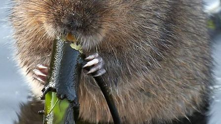 Endangered 'Ratty' comes out to play. WWT, Water vole