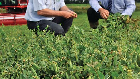 Stephen Francis, director from Fen Peas and Keith Costello, Princes agronomist, at Long Sutton.