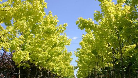 Acer platanoides Princetown Gold