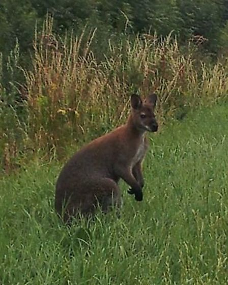 Wilf the wandering wallaby from Warboys
