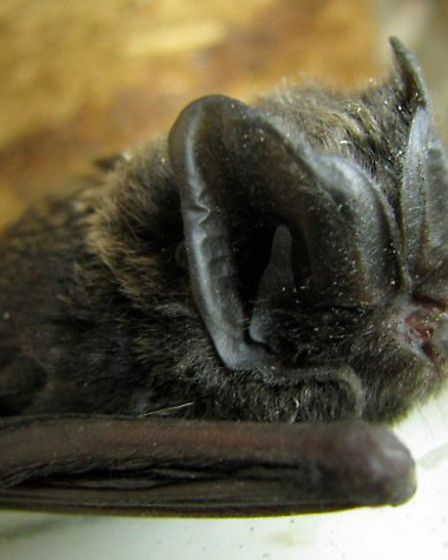 One of the UKs rarer bat species, the barbastelle, has been detected at WWT Welney Wetland Centre
