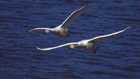 Whooper swans.Picture:DAVID FEATHERBE