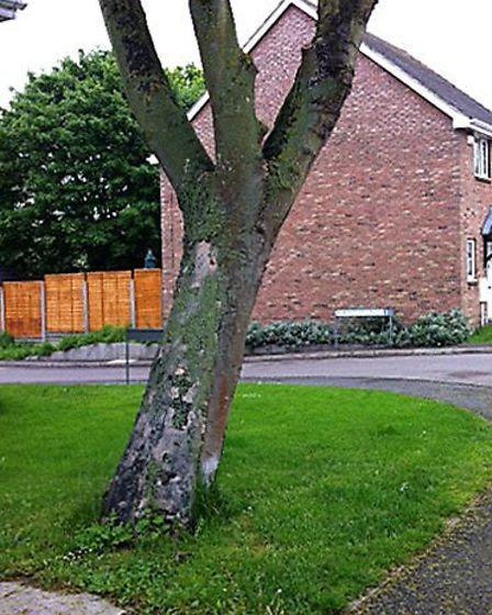 Leaning Tree at Benwick.