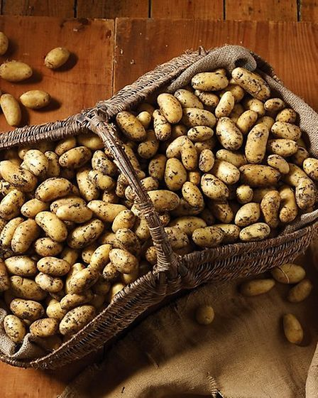 The Co-operative Food's Pioneer potatoes are grown exclusively at Coldham.