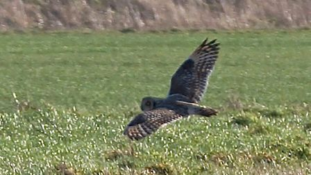 Cambs farmland wildlife project flourishes with CLA member's help. short-eared owl takes flight.