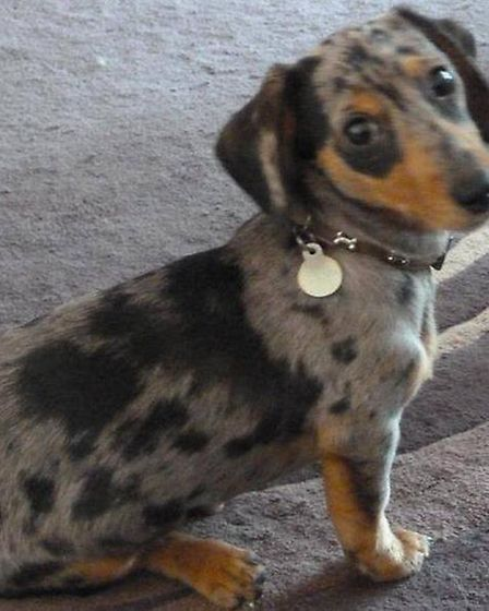 Misty the daschund who died in an incident with a farmer at Manea