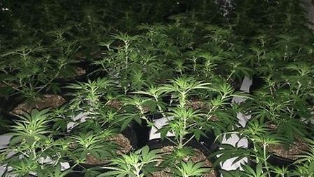 Cannabis Factory destroyed in Wisbech