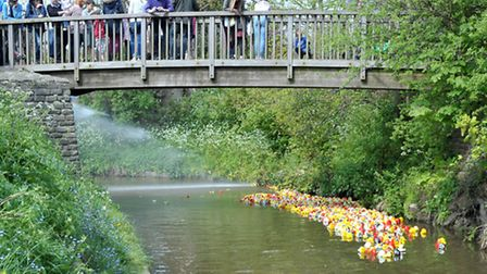Whittlesey Mayor's charities fund raising Duck Race.The ducks reach the corner of the river. Picture