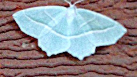 Is this a rare Emerald moth?