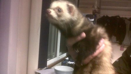 Ferret handed in at March Police Station