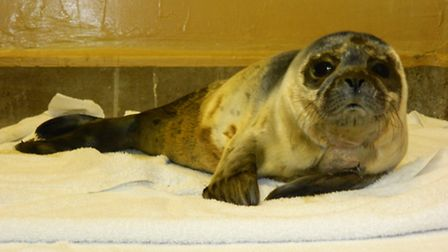 A common seal pup.