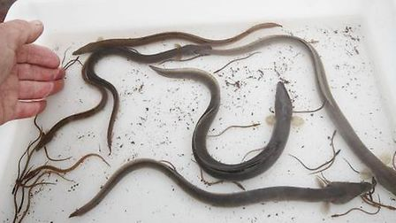 The size of eels that climb the elver pass range from tiny elvers to much larger young adult eels.