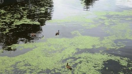 The algae has started to build up on the River Great Ouse.