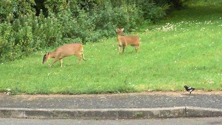John Tuerena saw two deer outside his home in Burnet Gardens, March.