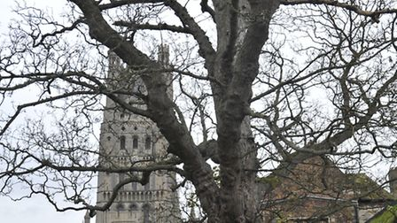 Sycamore tree, Palace Green, Ely