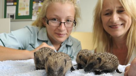 Hebbards Hedgehog Hotel, rescued by (l-r) Student veterinary nurse Amber Vale, at Isle Veterinary Gr