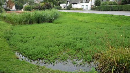 Parrot Feather pond weed at Elm village pond.Picture: Steve Williams.