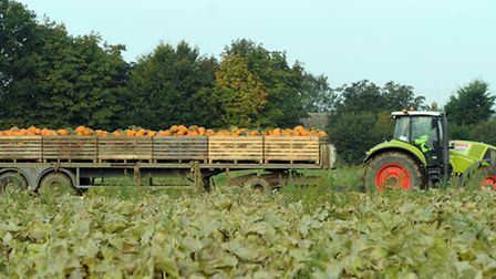 Pumpkins at Oakley Farms in Wisbech, Cambridgeshire, which have been harvested for Sainsbury's in-st