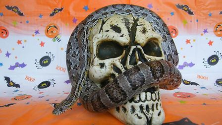 Get close to snakes as part of a week of Halloween-themed activities at South Angle Farm Park.