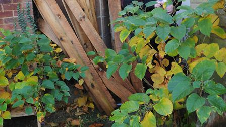 Sam Bates, with with son Frankie, looks at some of the Japanese knotweed growing in their home. Pict