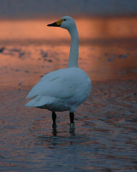 See the swans at Welney