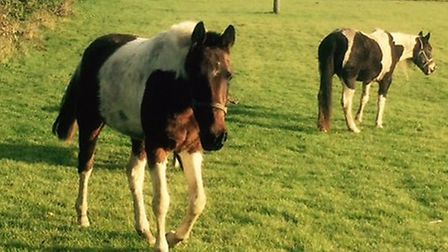 Horses have been roaming around Little Dunmow and Flitch Green.