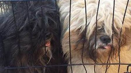 Ravenswood Pet Rescue take in two matted dogs