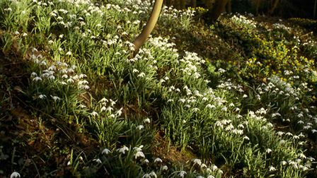 Snowdrop Valley at Anglesey Abbey *** Local Caption *** Anglesey Abbey, Gardens and Lode Mill