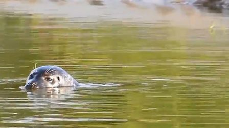 The seal spotted by volunteers at Welney.