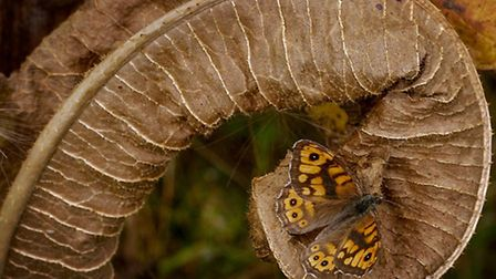 Albert Horton's photograph titled Wall Brown Butterfly, which won the annual natrual history competi